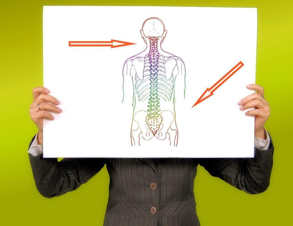 Il cranio (in alto) e la pelvi (in basso) delimitano la colonna vertebrale